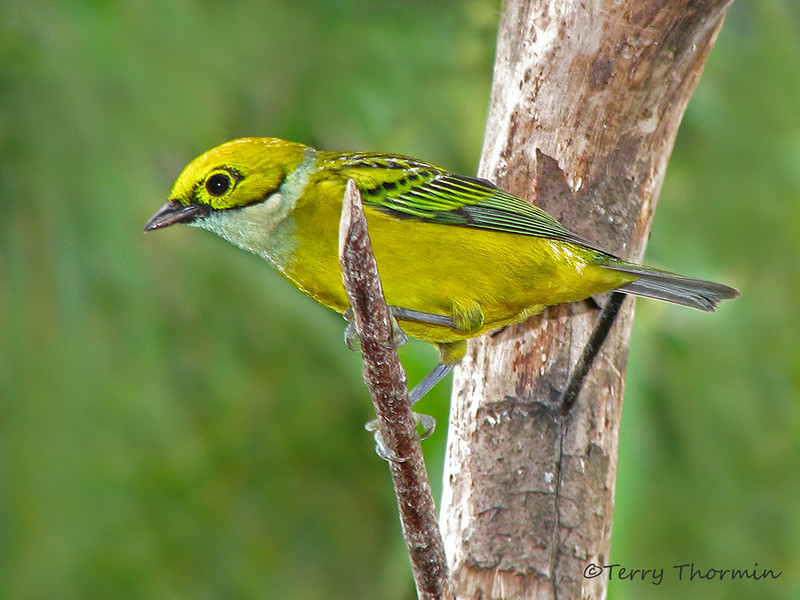 Silver-throated Tanager - Chinchona